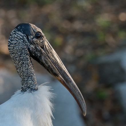 Wood Stork, Sony ILCE-7RM2, FE 70-200mm F2.8 GM OSS