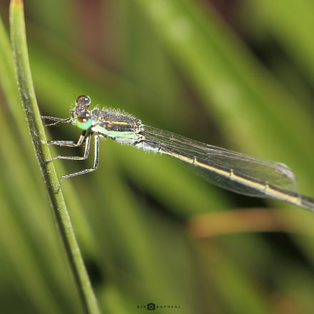 Damselfly, Canon EOS 700D, Canon EF-S 18-55mm f/3.5-5.6 IS STM