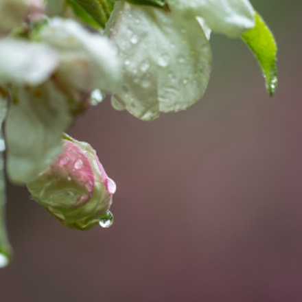 There Will Be Apples, Canon EOS 5D MARK III, Sigma 150mm f/2.8 EX DG OS HSM APO Macro