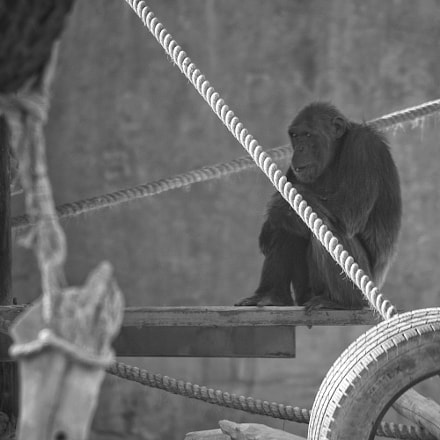 Monkey alone, Sony ILCE-6000, Sony FE 70-200mm F4 G OSS