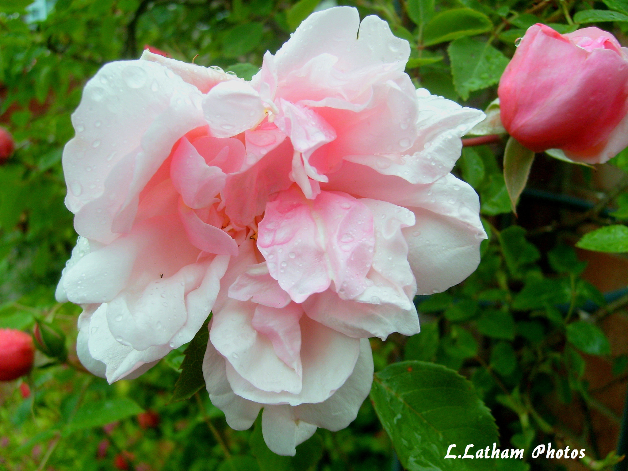 Photograph Albertine roses by lewis latham-cooper on 500px