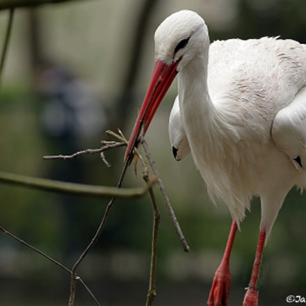 White Stork, Canon EOS-1D MARK IV, Canon EF 300mm f/2.8L IS II USM