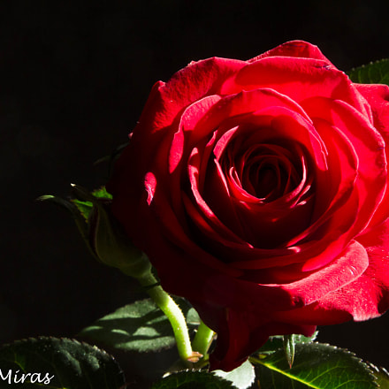 Rose, Canon EOS 700D, Sigma 18-200mm f/3.5-6.3 DC OS