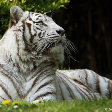 White Tiger, Canon EOS-1D MARK IV, Canon EF 300mm f/2.8L IS II USM