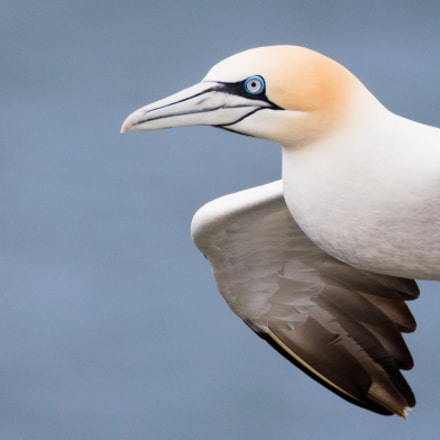 Gannet, Canon EOS 5DS R, Canon EF 100-400mm f/4.5-5.6L IS II USM