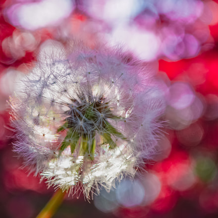 dandelion puffball under red, Sony ILCE-6300, E 30mm F3.5 Macro