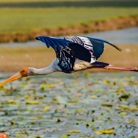 Painted stork on flight, Nikon D3400, Sigma 70-300mm F4-5.6 DG OS