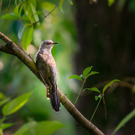 Indian Cuckoo, Canon EOS 5DS R, Canon EF 600mm f/4.0L IS II USM
