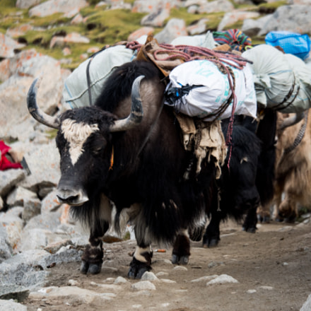 Yak Himalayas mountain Tibet, Panasonic DMC-GH4, Lumix G X Vario 35-100mm F2.8 Power OIS