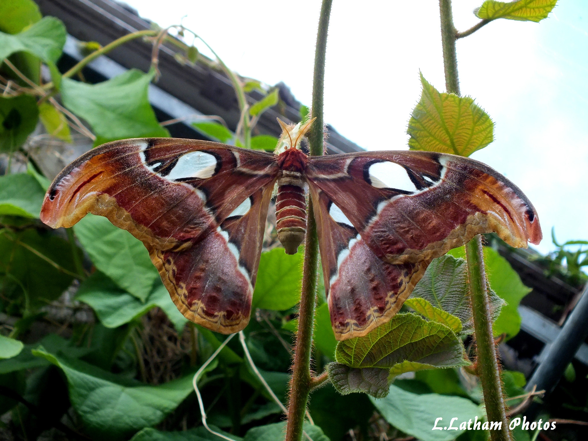 Photograph Atlas moth by lewis latham-cooper on 500px