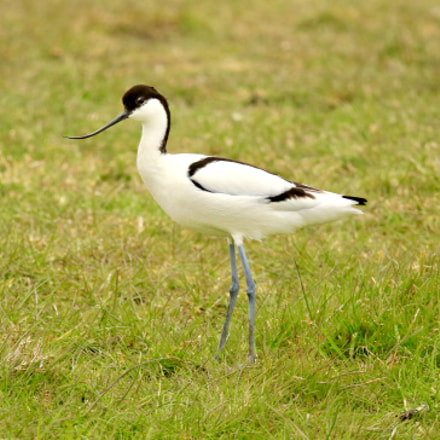 Avocet,picture was taken behind, Canon EOS 7D MARK II, Sigma 150mm f/2.8 EX DG OS HSM APO Macro