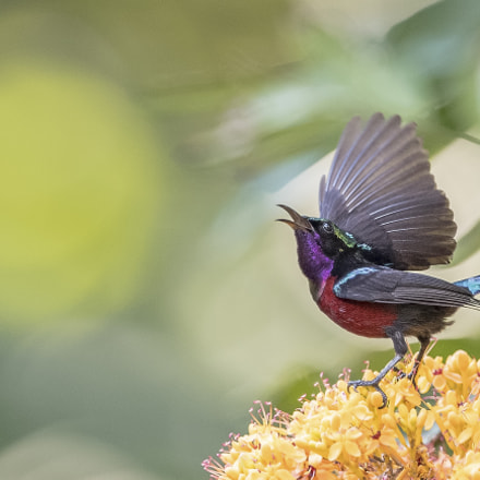 Purple Throated SunBird, Nikon D5, AF-S VR Nikkor 400mm f/2.8G ED