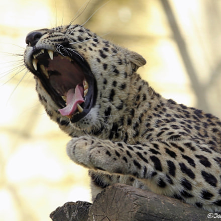 Persian Leopard, Canon EOS-1D MARK IV, Canon EF 300mm f/2.8L IS II USM