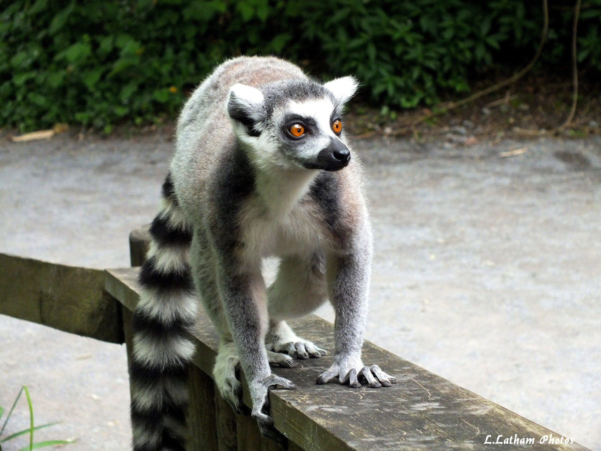 Photograph Ring-tailed lemur by lewis latham-cooper on 500px