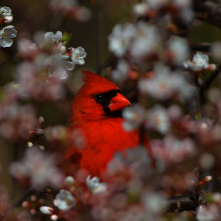 Cardinal in the blossoms, Nikon D7000, AF-S Nikkor 200mm f/2G ED VR II