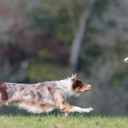 Hunting a frisbee, Canon EOS-1D X, Canon EF 200mm f/2L IS