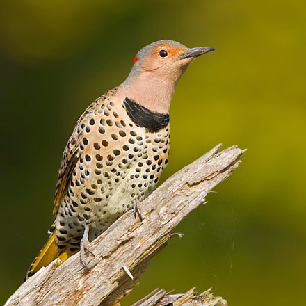 Northern Flicker, Canon EOS-1D MARK III, Canon EF 500mm f/4L IS + 1.4x