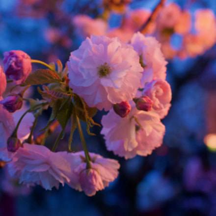 Osaka Mint Cherry Blossoms, Nikon 1 J2, 1 NIKKOR 18.5mm f/1.8