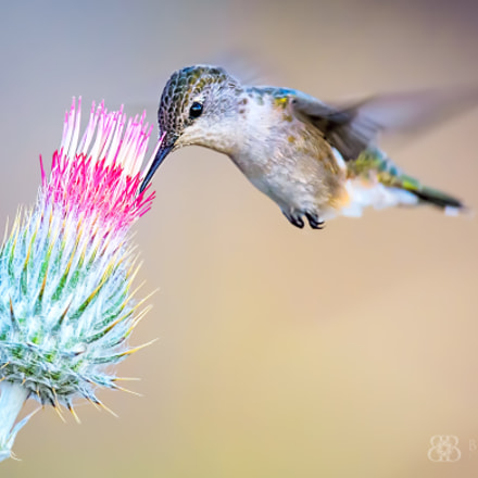 Hummingbird on Thistle, Nikon D7100