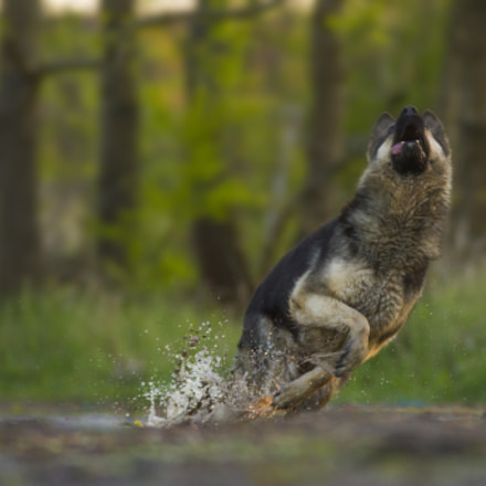 German sheperd in action, Canon EOS 7D, Sigma 70-200mm f/2.8 APO EX HSM