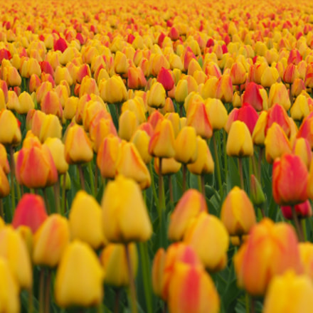 Tulip field in the, Olympus E-M1MarkII, Lumix G X Vario 35-100mm F2.8 Power OIS