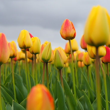 Tulips in the Netherlands, Olympus E-M1MarkII