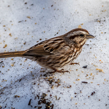 Bruant Chanteur / Song Sparrow, Sony ILCA-77M2, Tamron SP AF 70-200mm F2.8 Di LD IF Macro