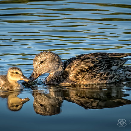 Duck and Duckling, Nikon D7100
