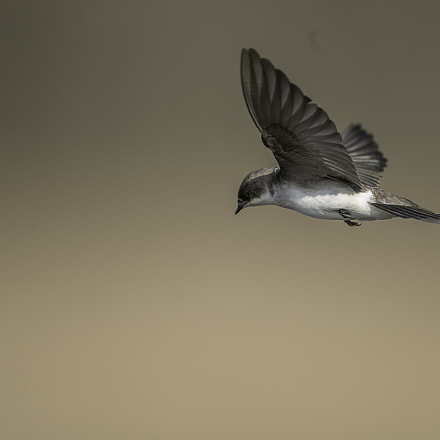 Tree swallow, Canon EOS-1D X MARK II, Canon EF 600mm f/4.0L IS II USM