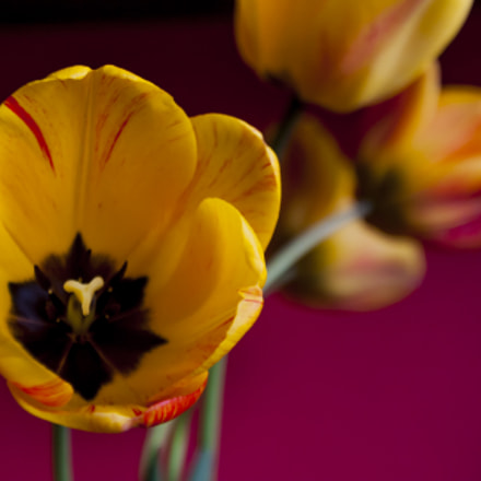 Tulips, Canon EOS 40D, Tamron SP AF 17-35mm f/2.8-4 Di LD Aspherical IF
