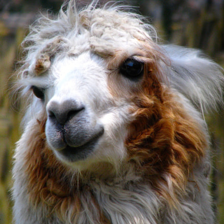 Lama from Lima Perú, Canon POWERSHOT S5 IS