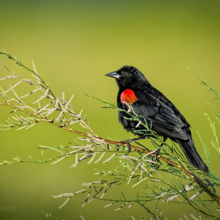 Red winged Blackbird, Nikon D7100