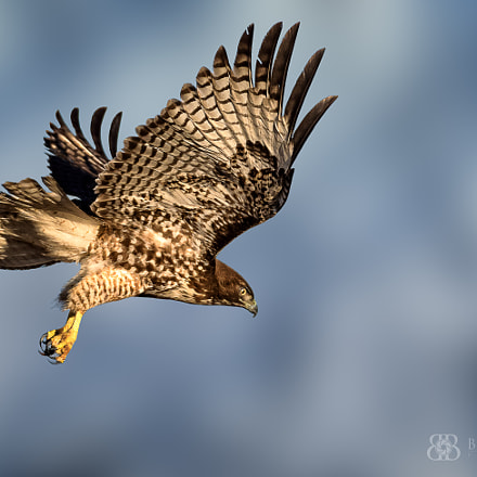 Red tailed Hawk, Nikon D810