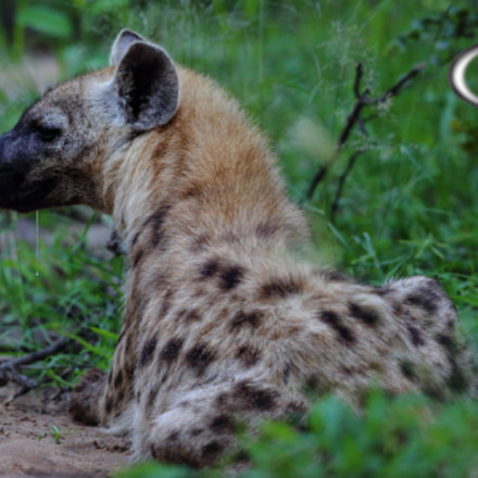 Young Hyena, Canon EOS 5D MARK III, Canon EF 500mm f/4L IS II USM