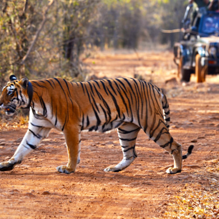 Want to see Tigers, Nikon D5100