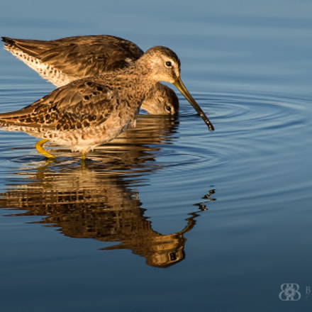 Pair of Dowitchers, Nikon D810