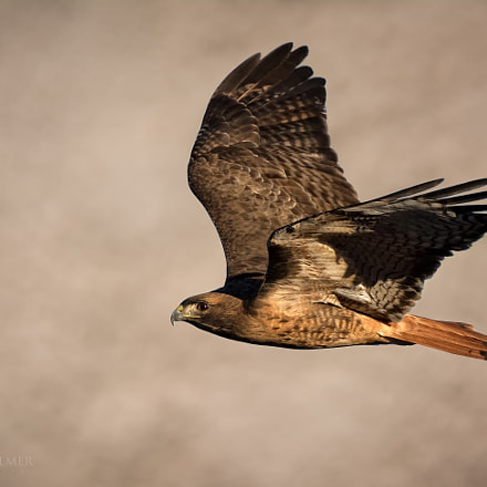 Red tailed Hawk Hunting, Nikon D810