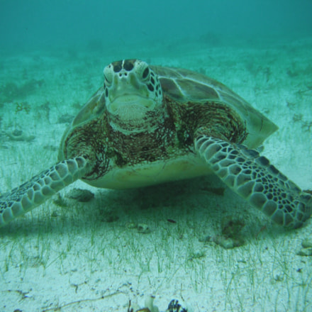 Sea Turtle in Guadeloupe, Fujifilm FinePix XP10