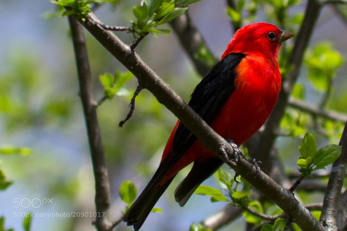 Photograph Scarlet Tanager by Anuj  Raj on 500px