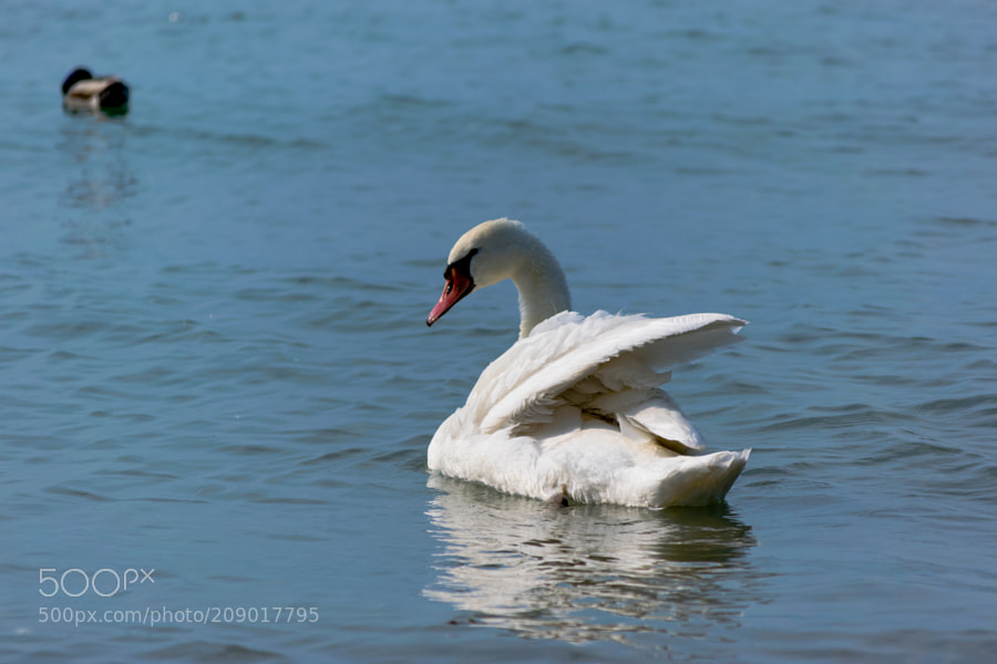 Swan & Duck