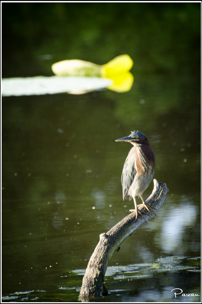 Photograph The Green Heron by Pavan  Kumar on 500px