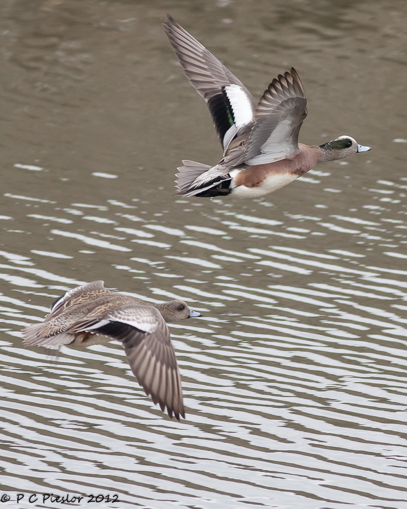 Photograph Wigeons winging by Pete  Pieslor on 500px
