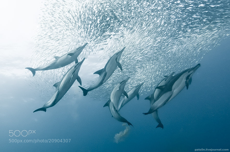 Photograph the sardine run by Alexander Safonov on 500px