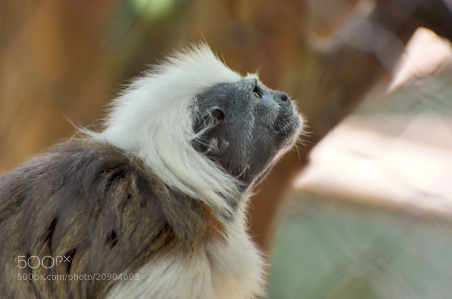 The Cottontop Tamarin-Look Up and Hope