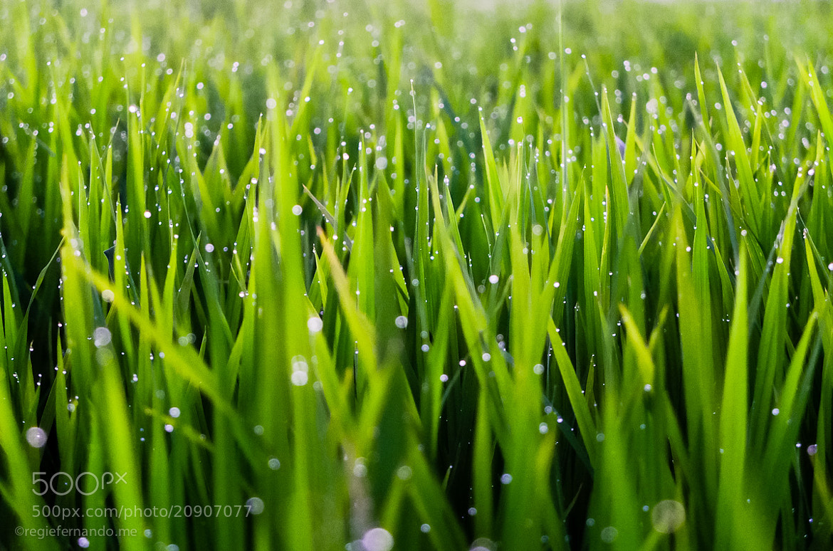 Photograph Rice Straw Droplets by Regie Fernando on 500px