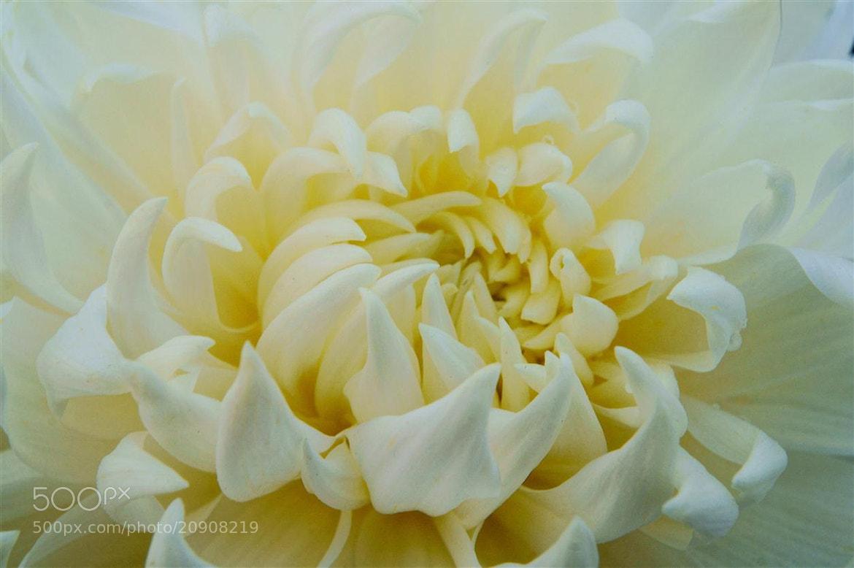 Photograph Chrisanteme Bloom by Edvard - Badri Storman on 500px