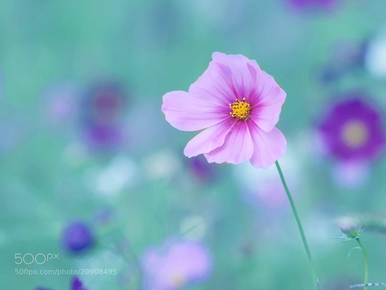 Photograph Cosmo flowers. by OKAWA โอ๋กะหว้า. somchai on 500px