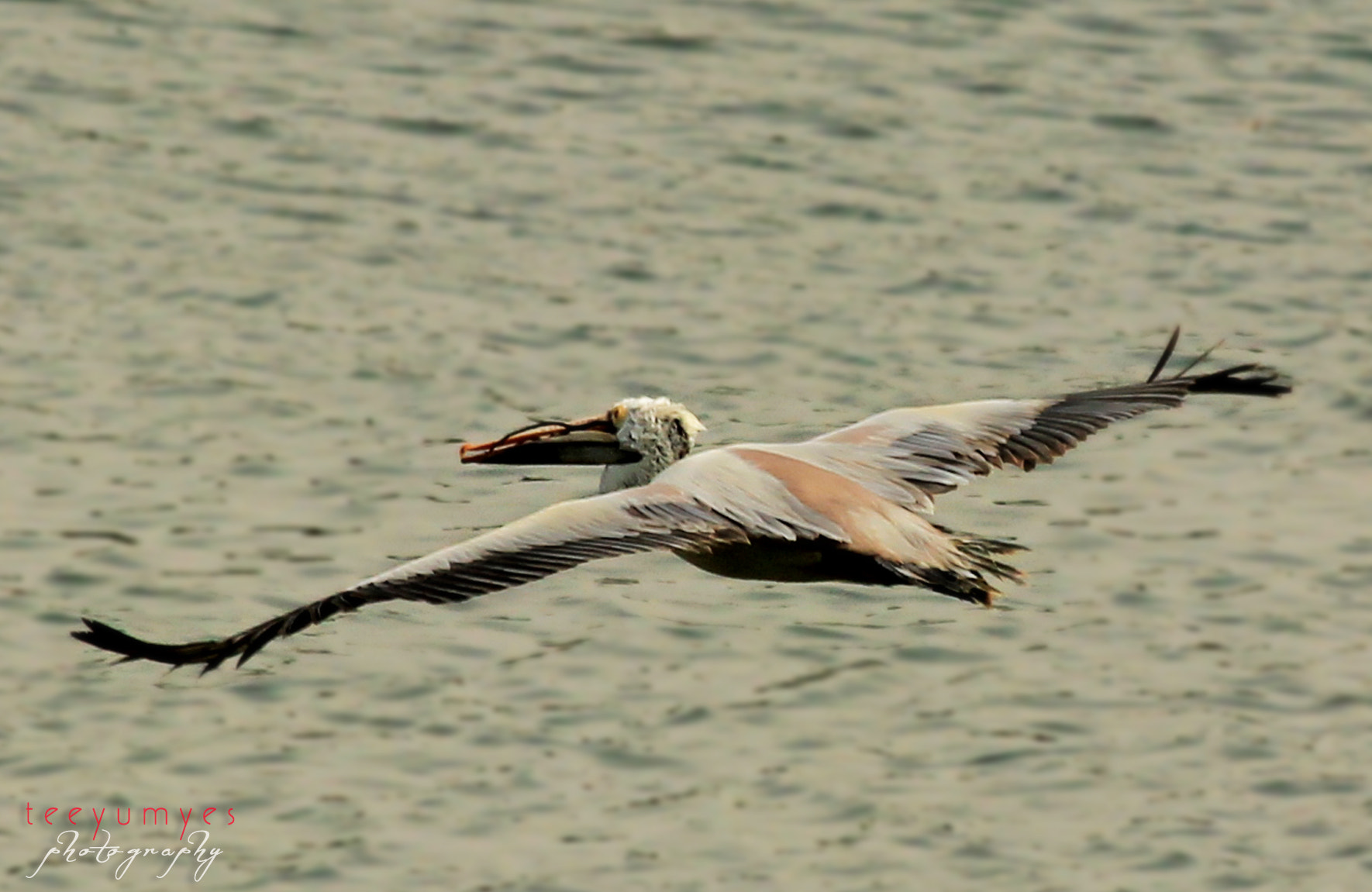 Photograph Pelican by Suresh Mano on 500px