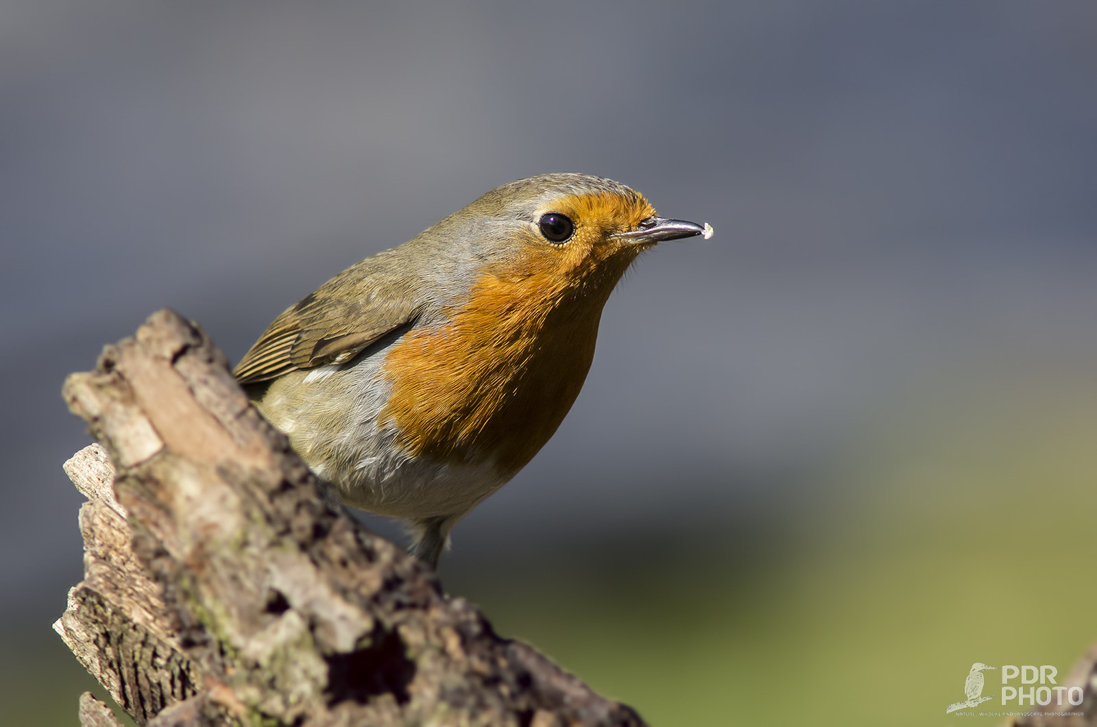 Photograph Robin by PdR Photo on 500px