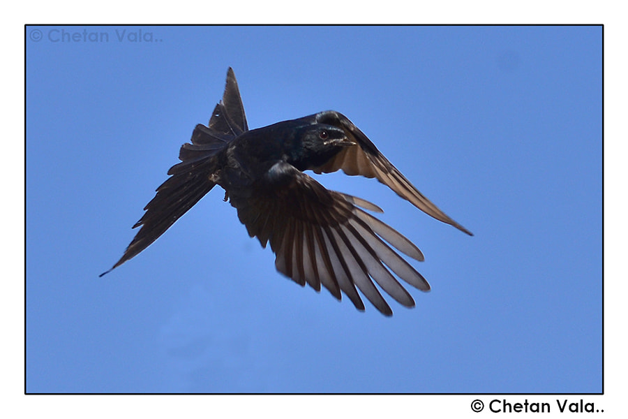 Photograph Black Drongo by chetan vala on 500px